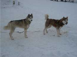 The Huskies
