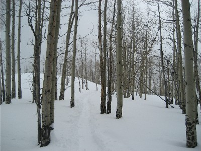 west vail trees 1