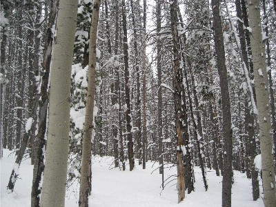 west vail trees 2