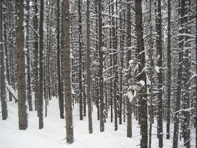 west vail trees 3