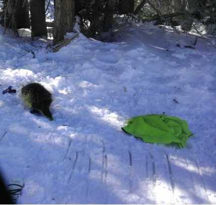 Beaver Creek Porcupine