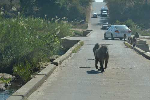baboon kruger 1