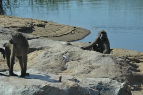 baboon kruger 2
