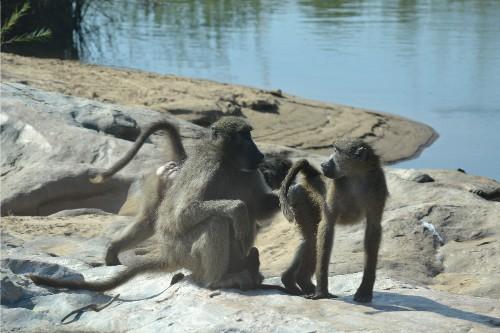 baboon kruger 3