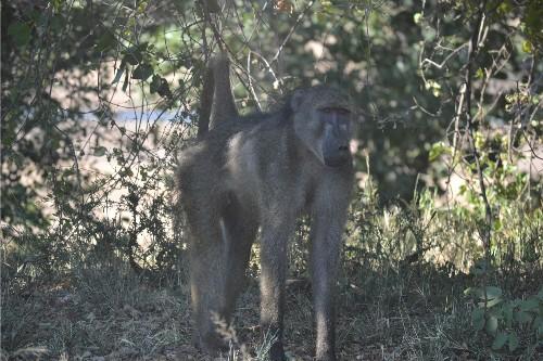 baboon kruger 5