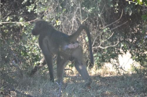 baboon kruger 6