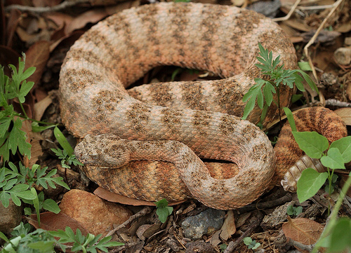 tiger rattlesnake | DOWN and OUT - photo#20